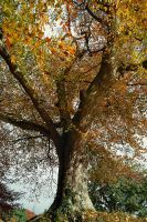 Belvoir Tree, November 2010 by Gerard1972
