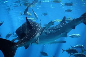 WHALE SHARKS by Little-Bluefish