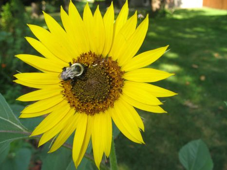 Sunflower with a bee by CtrlAltTabby