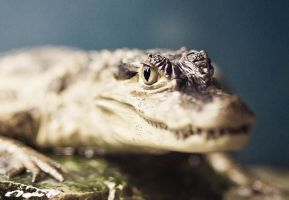 Young caiman by Schneltser