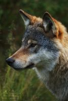 Wolf Portrait II by titovn