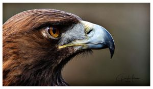golden eagle portrait by PhotographyChris