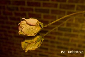 Yellow Rose by littlegett