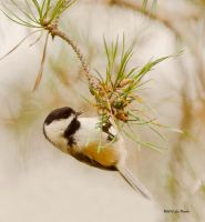 Chickadee in Pine by Les-Piccolo