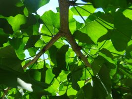 Ginko Leaves by Maymay2146