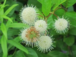 Common Buttonbush 1 by Windthin