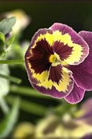 Pretiful Pansy by TThealer56