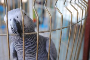 African Grey Parrot - Zako by Raptor7gr
