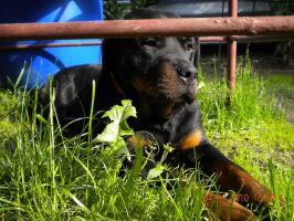 Rottweiler Dina by Whispery