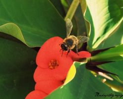 Bee by madaphotography