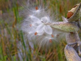 Milkweed Pod And Seeds by PamplemousseCeil