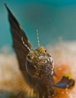 Sailfin Blenny2 by DevilDiver