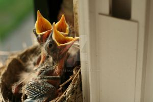 Baby Robins in nest 2 by kwpatrick
