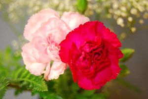 Pink Carnations 3 by Dori-Stock