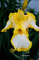 White and Yellow Iris by thriftyredhead