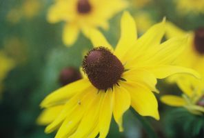 Brown-Eyed Susan by bubblenubbins