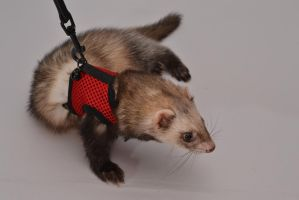 Fizz the Ferret 1 by In2FF7