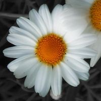 Asteraceae by inportb