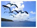 Laughing Gulls by littleredelf