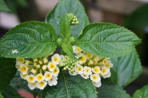 Lantana today in my garden by ingeline-art