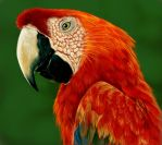 Scarlet Macaw by Deadsound
