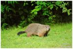 A Tennessee Groundhog by TheMan268
