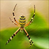 striped spider by justerZ