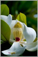 Sweet Magnolia Blossom by justfrog
