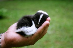 Baby Skunk by ilovelost456