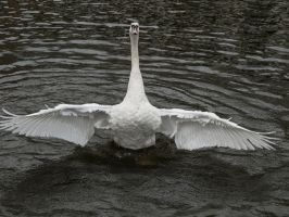 STOCK Swan 8 by Inilein