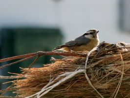 red breated nuthatch by Nipntuck3