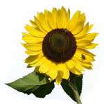 Sunflower PNG by PiXasso79-Stock