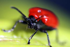 Lily beetle by Gothic-Enchantress