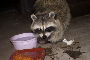 Raccoon eating the cat food by Darklordd