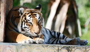 Tigre by CaitrinXlXAnneliese