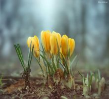 Crocuses by BenHeine