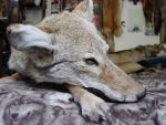 First soft mount - Goul by Taxidermy-Pride
