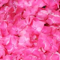 Day 162: Just Pink by poserfan-pholio
