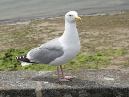 Seagull by RemnantMemory
