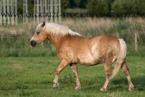 Haflinger Stock 8 by Colourize-Stock