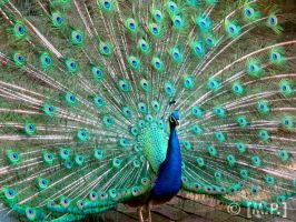 Peacock by Mashified