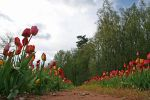 Tulips Path 07 by CD-STOCK by CD-STOCK