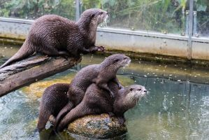 Otters III by paschlewwer