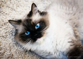 ragdoll blue eyes by venomxbaby
