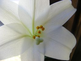 my easter lily...2013 by BlueIvyViolet
