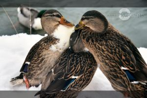 duck fight by nyanPHOTOgrapher