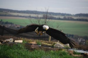 Bald Eagle 6 by kool007kat-stock