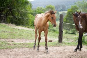 Km foal buckskin front view by Chunga-Stock
