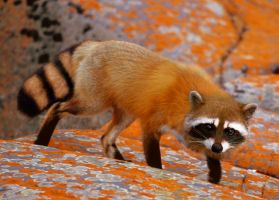Coon Fox by ShutterBeeLee