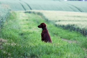 Irish Setter by greedy-peri